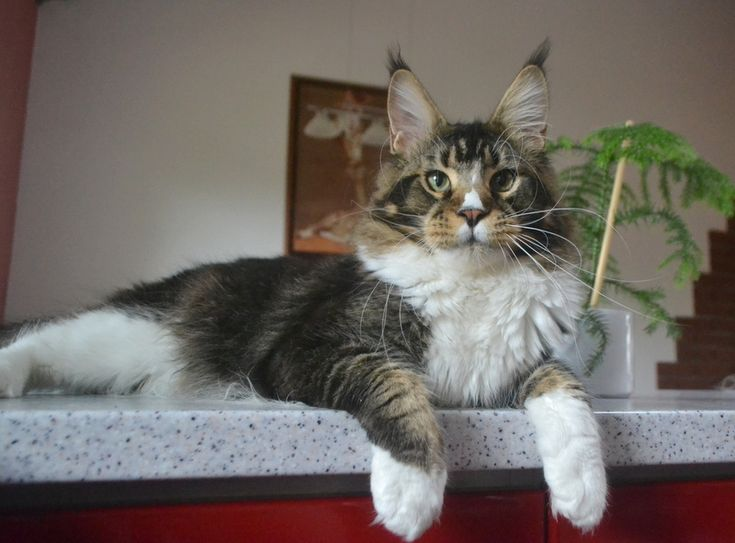 Maine Coon, Black Tabby Ticked & White (n 09 25). CH Simply the Best by Imagine Glamour*CZ JW