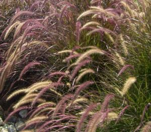 Ornamental grasses are growing in popularity, but there's no standard way to prune or groom them. Follow these steps to cut ornamental grasses and get them to looking great.: Pennisetum Setaceum: A Grass for All Seasons