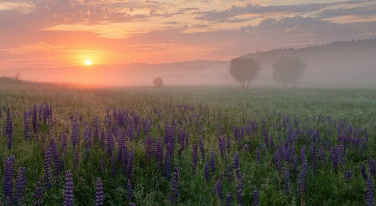 The Foggy morning in Lupin blooming field by Fedotkovo village in Smolensk oblast (western Russia). Photo credit by Sergey Yershov (2014).