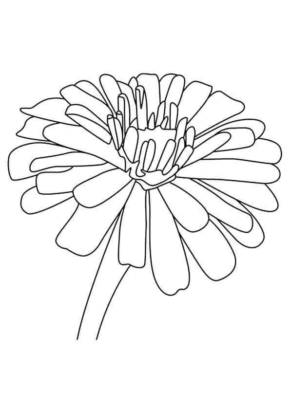 Zinnia Flowers Coloring Pages Various Type Of Flower Coloring