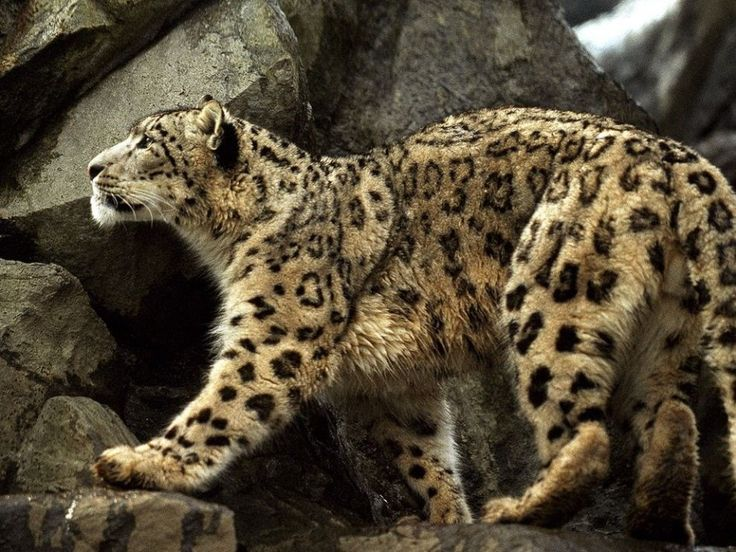 Snow Leopard (Photograph by Michael Nichols)  Native to the Central Asian mountains, the snow leopard is a rare sight, with only about 6,000 left in the wild. They are hunted for their beautiful, warm fur and for their organs, which are used in traditional Chinese medicine.