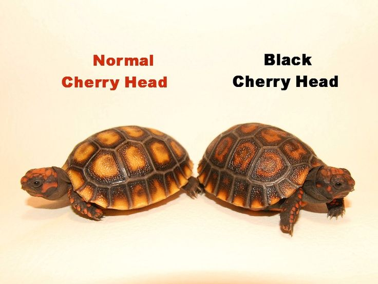 Black Cherry Head Red Footed Tortoise difference