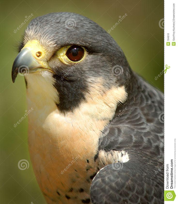16 mejores imágenes de aves en Pinterest | Aves de rapiña, Aves ...