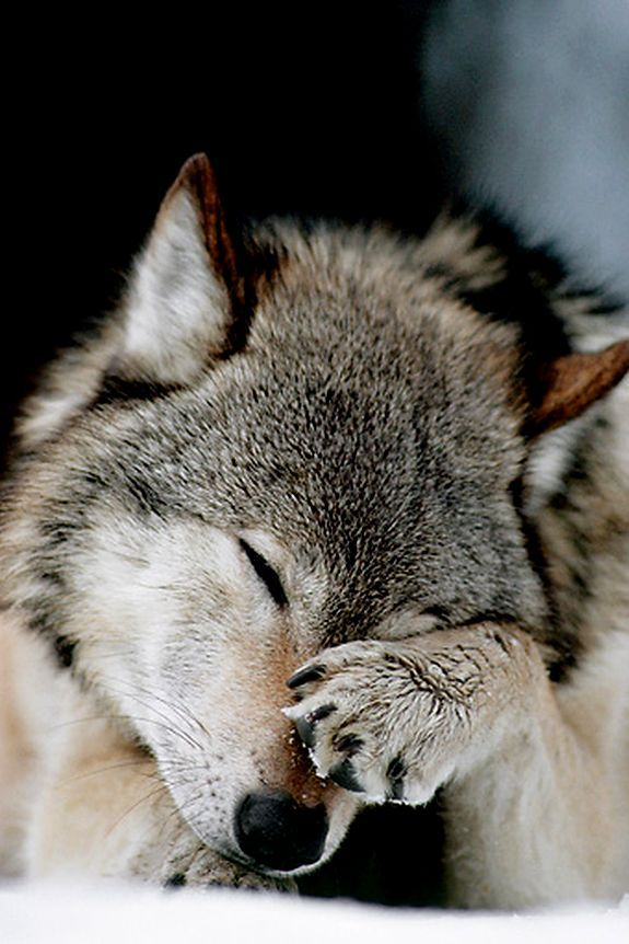#wolf お手!