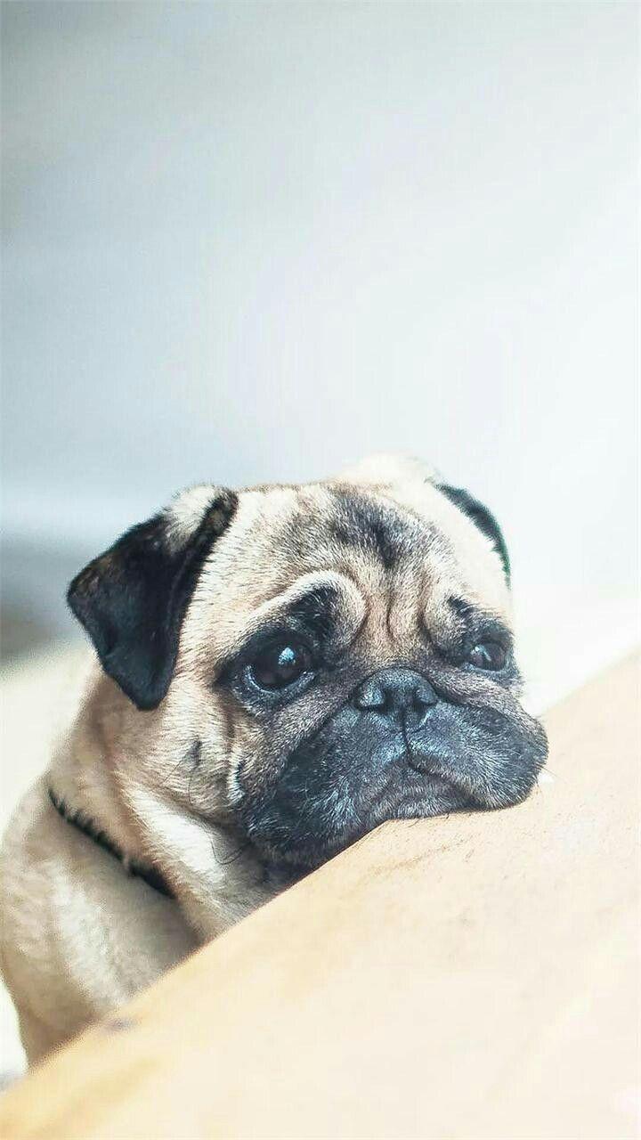 Omg This Looks Like My Puppy Pug Kopekler Cok Sirin Hayvanlar