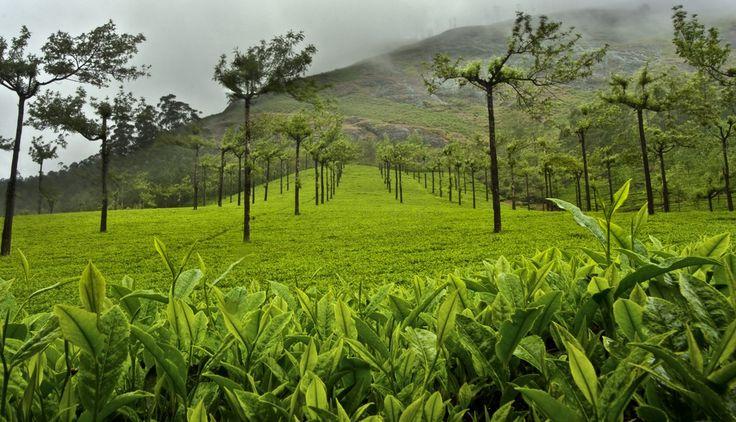 teaplantation09 Зеленые ковры чайных плантаций в Индии