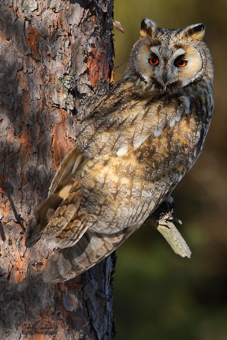 Long eared Owl -