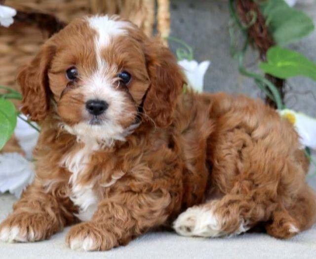 Houston Cavapoo Puppy For Sale Keystone Puppies Cavapoo Puppies Cavapoo Puppies For Sale Cavapoo