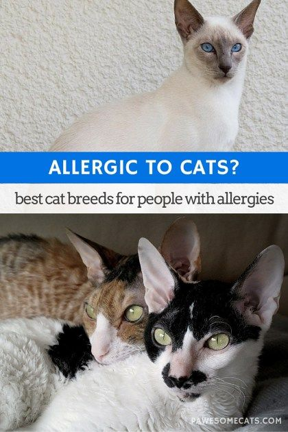 No cat is 100% hypoallergenic - but there are suitable cat breeds for people with allergies   Best Cat Breeds for People with Allergies
