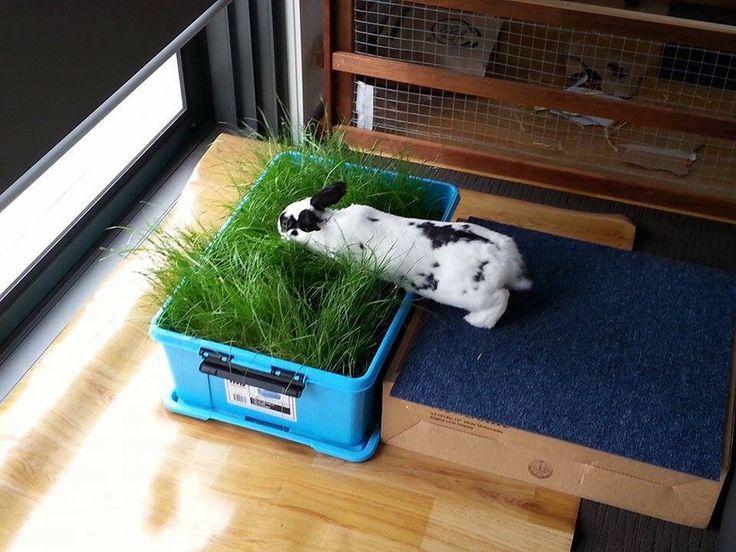 Bunny indoor grass … Rabbit life, Bunny cages, Indoor rabbit
