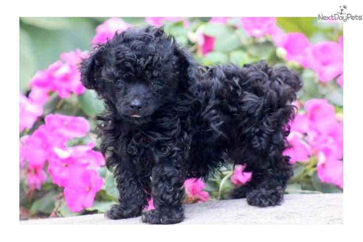 Chex toy poodle male poodle toy puppies for sale toy