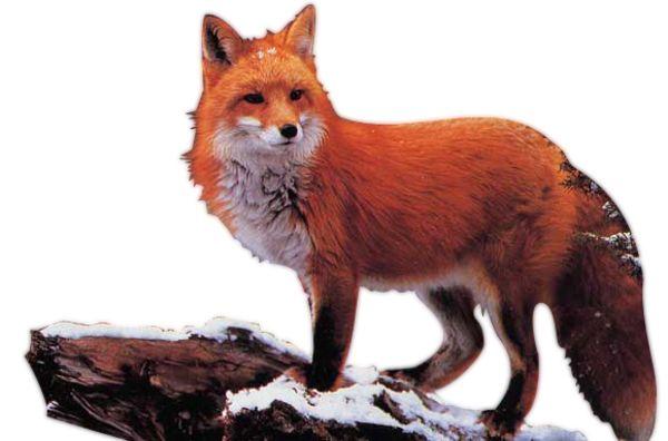 ForgetMeNot: Животные лисы