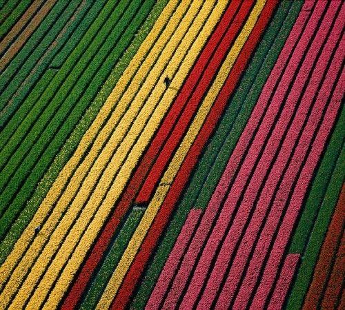Campos de tulipanes (Holanda)