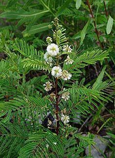 "Acacia angustissima ""White Ball Acacia"""