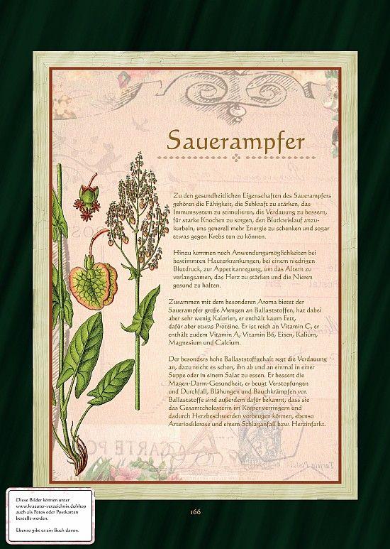 Ampfer - Sauerampfer - Sauerampfertee