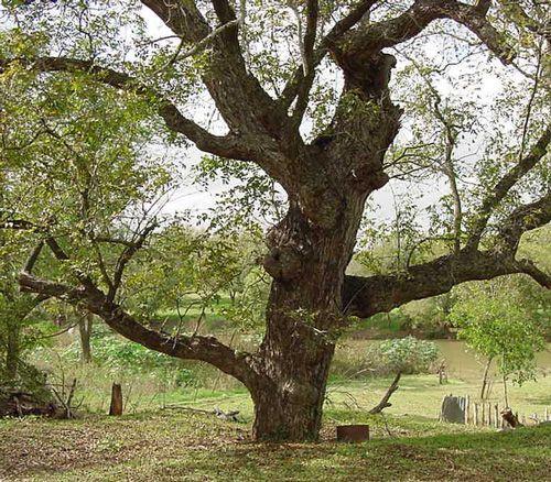 pecan tree state tree of texas