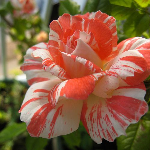 'Life Lines' climbing miniature rose attracts Bluebirds. Definitely going to look for this variety!