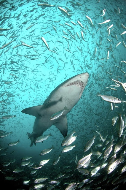 There are over 450 different species of shark. #AmazingNaturewww.dierenplaza.nl