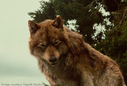 twilight jacob black wolf - photo #6
