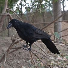 Realistic Blackbird Halloween Props Feathered Crow Raven Fancy Accessory Arts