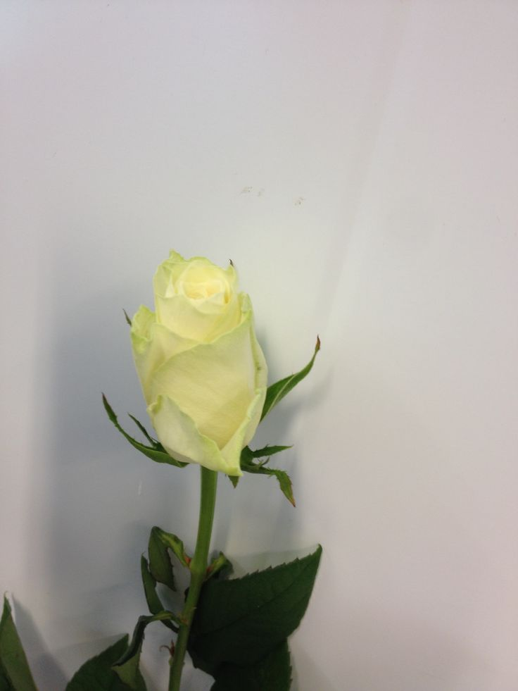 Rosa - Athena - Rose - Hvit
