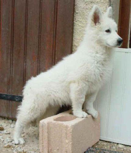 berger blanc suisse dog photo   File:Berger Blanc Suisse 15 Wochen-15 weeks.JPG - Wikimedia Commons ...