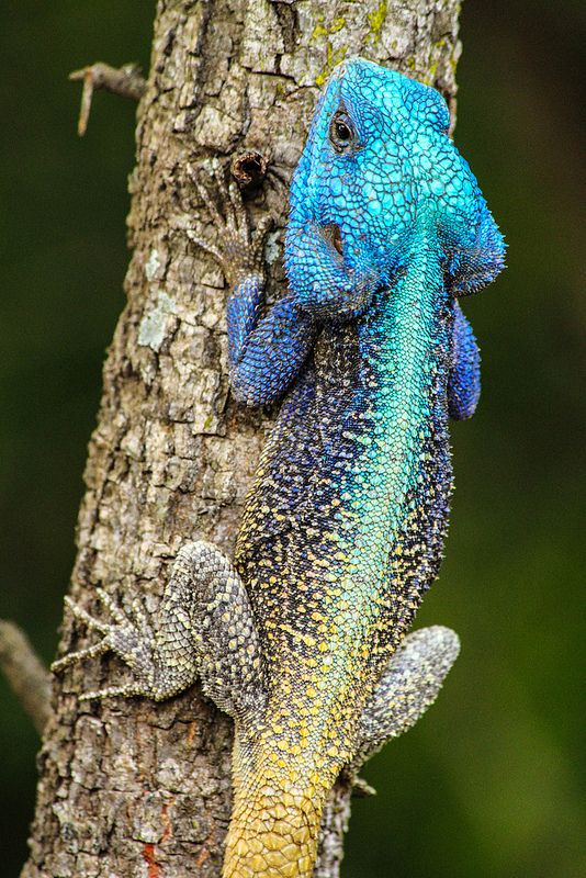Colourful blue-headed agama lizard in South Africa / less than perfect camouflage !!! ✔️
