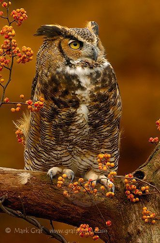 Great Horned Owl: