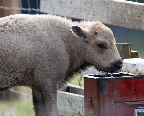 Native Americans mark birth of rare white bison - The Washington Post. Mike Groll/Associated Press -  A white bison calf drinks water at the Mohawk Bison farm in Goshen, Conn. Sioux tribal elders from South Dakota are expected to attend naming ceremonies later this month at the Goshen farm where the animal was born on June 16.