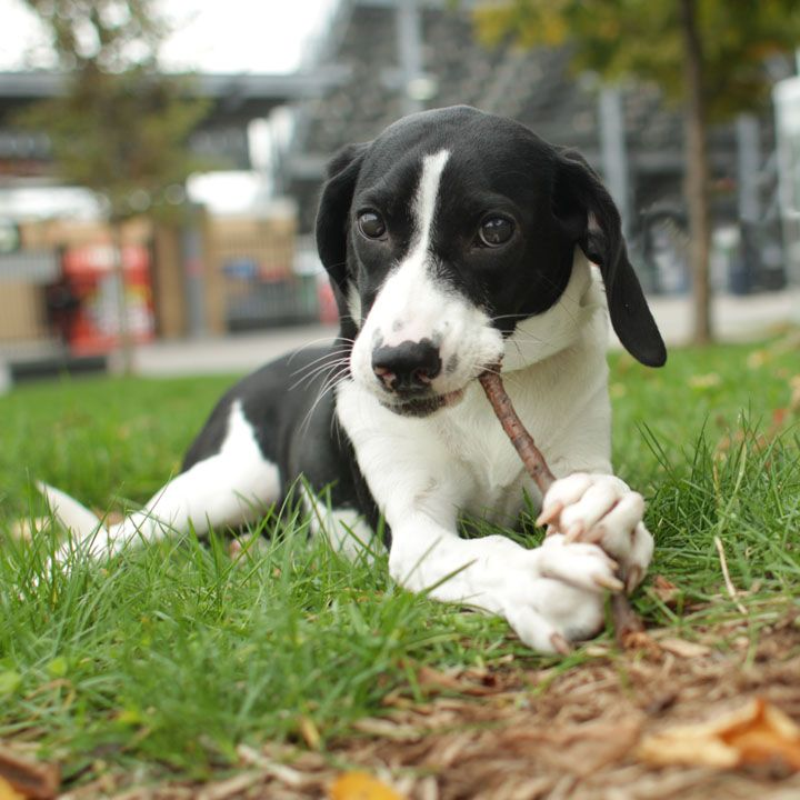 Black And White Beagle Boxer Mix Puppies