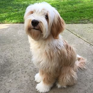 Right breed for you? Tibetan Terrier information including personality, history, grooming, pictures, videos, how to find one and AKC standard.