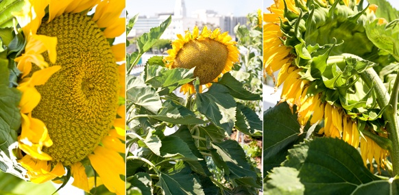 why you should plant mammoth sunflowers!