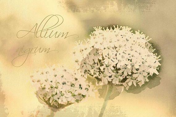 Allium nigrum  Digital Download Art botanical print floral