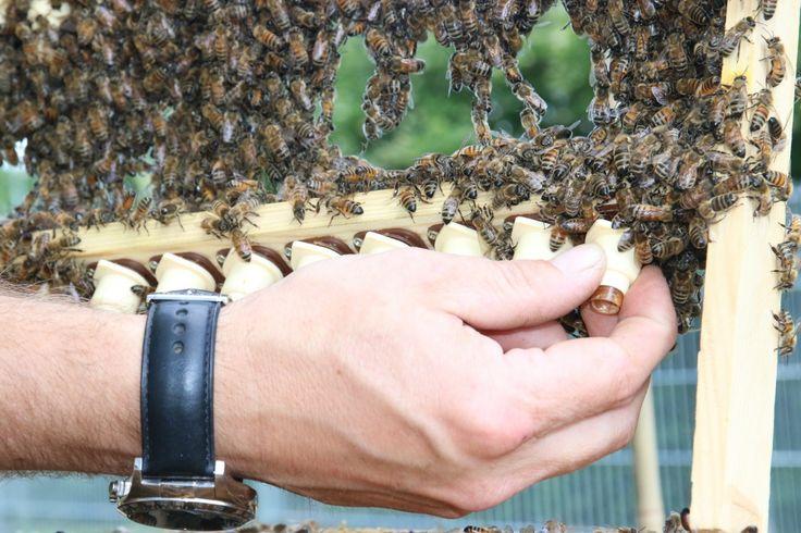 Einsetzen der neuen Rahmen mit den Larven der Bienenköniginnen.