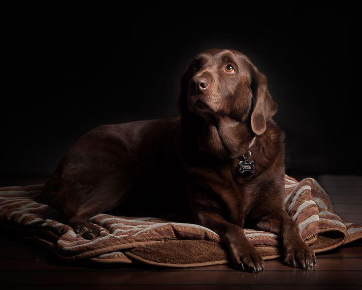 Brown Labrador   Brown Lab   Beautiful Dog