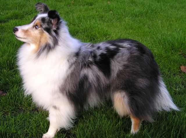 ~ SHELTIES, GREAT FAMILY DOGS, THEY WILL HERD TODDLERS, COME IN A NUMBER OF COAT COLORS ~