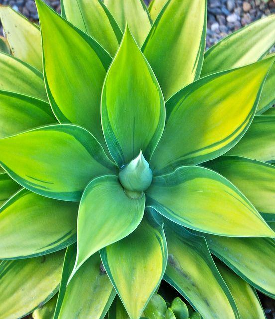 yellow-green...Agave attenuata 'Kara's Stripes'