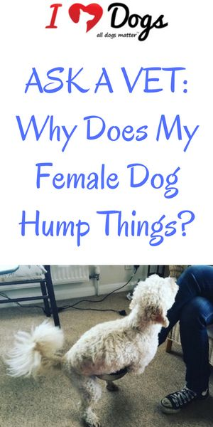 Ask A Vet: Why Does My Female Dog Hump Things?