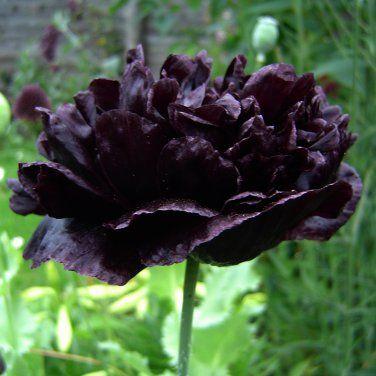 Rare Black Peony Poppy Papaver Somniferum Paeoniflorum 'Black Paeony' - 20 Seeds