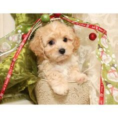 Cavachon Puppies For Sale | Cavachon Pups For Sale | Cavachon Breeder
