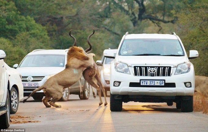 Animaux5 Lions 4. Deux lions attaquent un Koudou au milieu de voitures !!