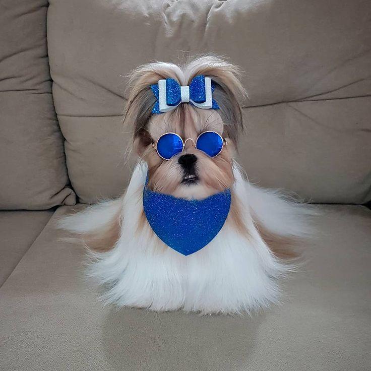Adorable shih tzu in 2020 pet dogs shih tzu animals