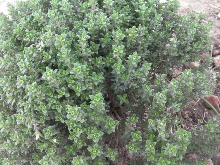 #tomillo  #plantas #aromáticas