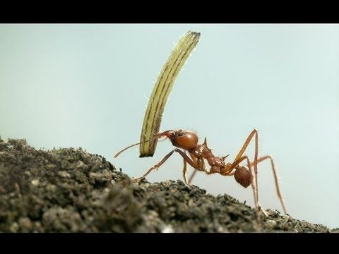 10 Incredibly Strong Insects - YouTube