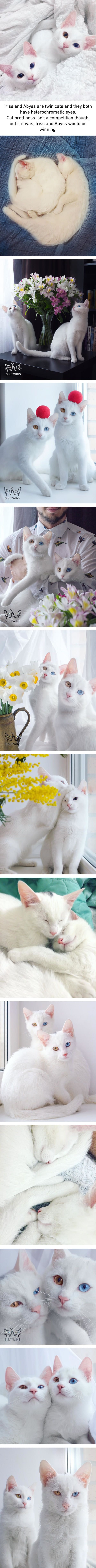 These Photogenic Twin Cats Are Prettier Than Most Of Us.  [Click to go to website for even better pics of these two cuties.]