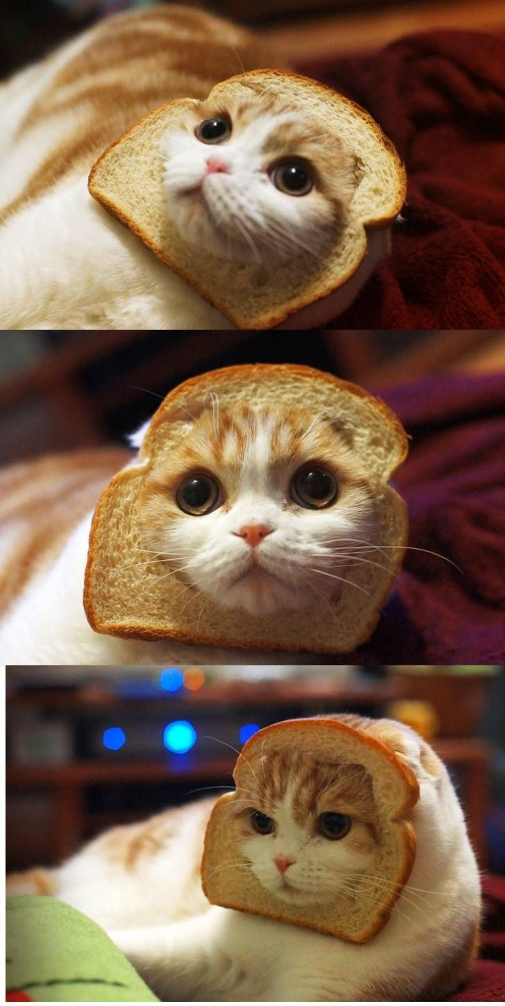 no words: Inbread Cats, Breads Cats, Hate Cats, Cats Breads, Funnies, Breadcat, Cats Fashion, Animal, The Breads