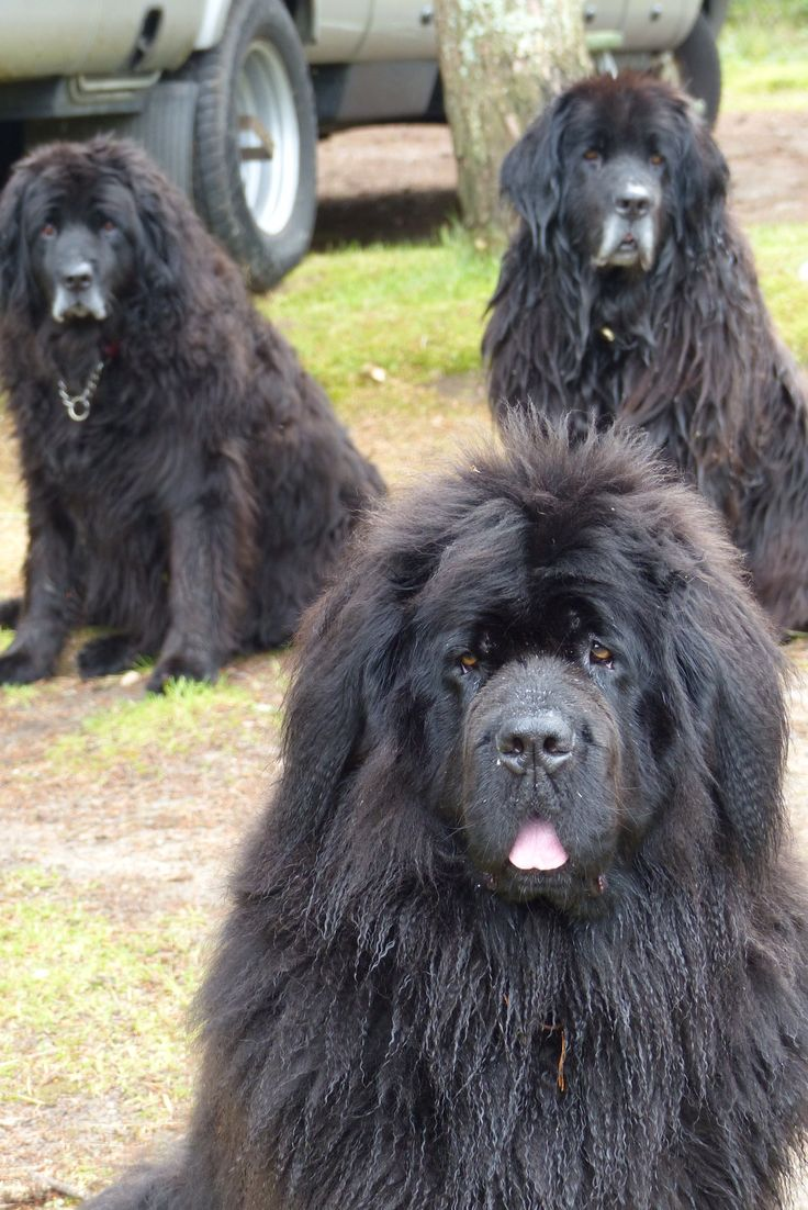 35 very beautiful newfoundland dog pictures - Look At Their Wee Grey Bits So Cute And The Signature Tuft Newfoundland Dogsamazing Dogsbig