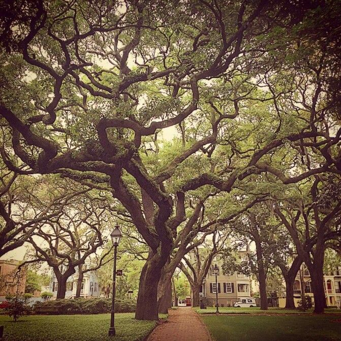 I love the trees in Savannah!