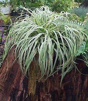 17 best images about my grasses now on pinterest for Ornamental grass edging