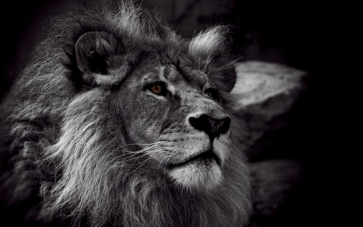 Cool Looking Male Lion Black And White Lion Lion Wallpaper Lion Photography